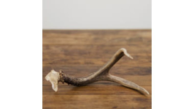 Picture of a Antler, Animal - Assorted