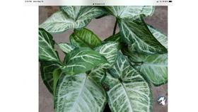 Image of a Green Syngonium Ivy Bush