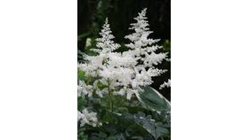 Image of a Astilbe White
