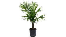 Image of a Areca Palms
