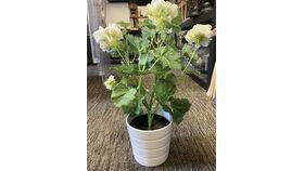 Image of a White geraniums