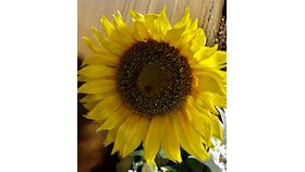 Image of a Extra-Large Sunflowers