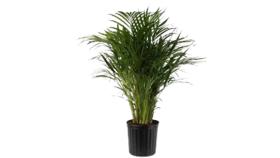 Image of a Areca Palm Tree