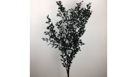 Image of a Dried Black Italian Ruscus