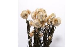 Image of a Dried Bleached Mini Daisies