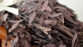 Image of a Dried Burgundy Seeded Eucalyptus