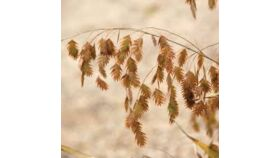 Image of a Dried Chasmanthium